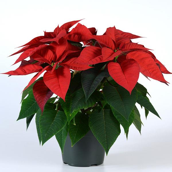 Poinsettia Christmas Morning Container