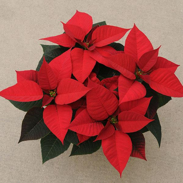 Poinsettia Christmas Morning