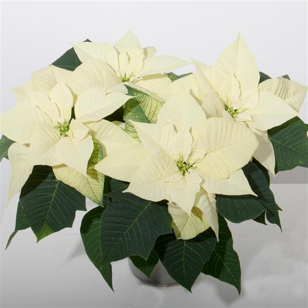 Poinsettia Snowy White