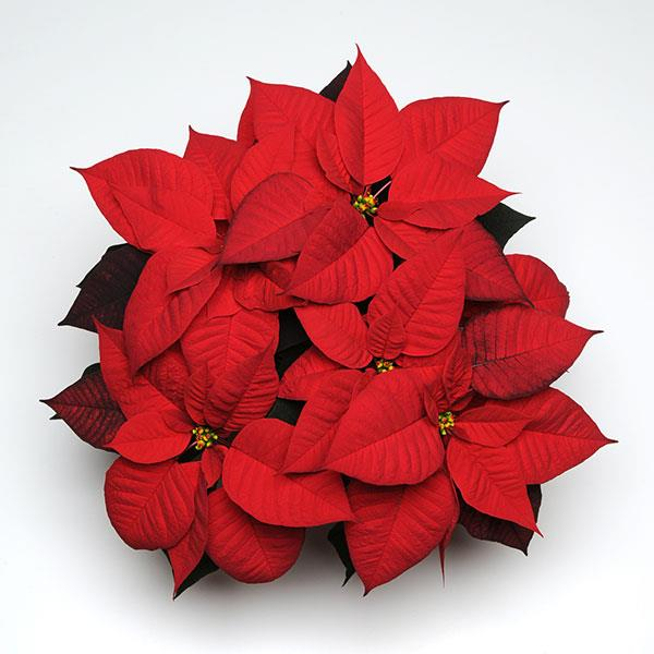 Poinsettia Christmas Day Red