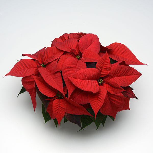Poinsettia Christmas Spirit